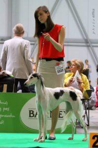 handling - výstava psů, výstavní postoj saluki
