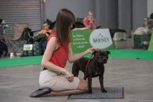 handling - výstava psů, výstavní postoj SBT