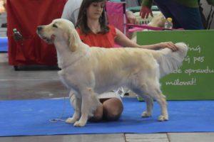 handling - výstava psů, výstavní postoj zlaty retvivr