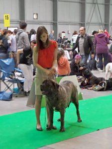 handling - výstava psů, výstavní postoj, anglicky mastif