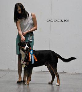 handling - výstava psů, výstavní postoj, velký švýcarský salašnický pes