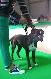 nemecky boxer, vystava psu, vystavni MVP Praha 2017postoj, kurz handlingu, vystavovani psu, priprava na vystavy psu