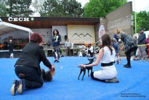 vystava psu vystavni postoj, skola vystavovani psu, handling psu, anglicky toy terier