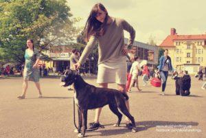 vystava psu vystavni postoj, skola vystavovani psu, handling psu, nemecky boxer