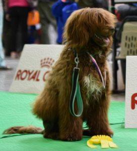 portugalsky vodni pes, vystava psu, vystavni postoj, priprava na vystavu psu, handling psu