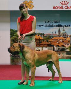 priprava na vyMVP Praha 2017stavy psu, handling psu, vystavni postoj, jak vystavovat psa, handling psu, boer boel vystava psu praha