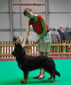 priprava na vyMVP Praha 2017stavy psu, handling psu, vystavni postoj, jak vystavovat psa, handling psu, chodsky pes vystava psu mvp praha
