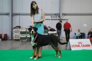 priprava na vystavy psu, handling psu, vystavni postoj, jak vystavovat psa, handling psu, MVP Praha 2017