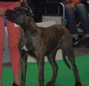 cane corso, vystava psu praha, vystavni postoj, kurz vystavovani psu, handling, vystavni postoj, priprava na vystavy