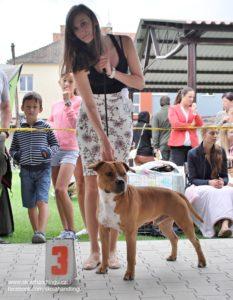 americky staforsirsky terier vystava psu