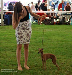 italsky chrtik vystava psu