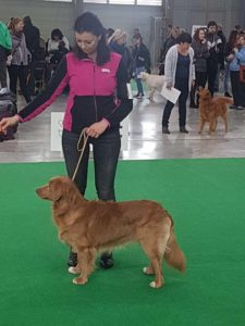 vystavni postoj, retviever, priprava na vystavu psu, vystavy psu, handling