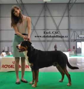 výstava psů MVP Praha, výstavní postoj, příprava na výstavu psů, velký švýcarský salašnicky pes, handling psu, kurz vystavovani