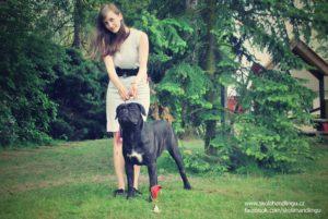 cane corso - Enzo