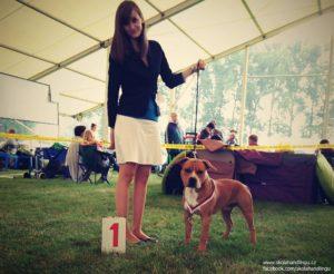 vystava psu, handling, americky staforsirsky terier