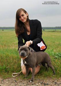 staforsirsky bullterier vystava psu