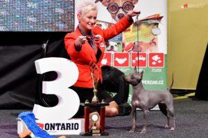 americky bezsrsty terier vystava psu