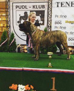 bullmastif vystava psu